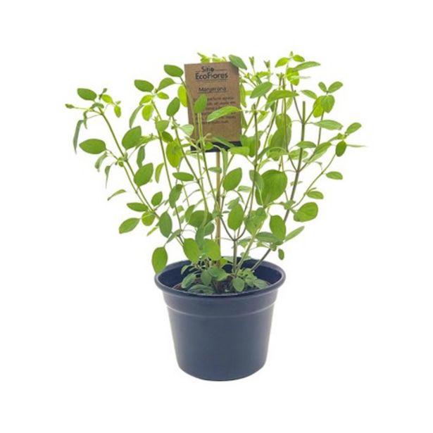 Oferta de Manjerona Pote N11 Natural Sítio Eco Flores 1Un por R$7,99