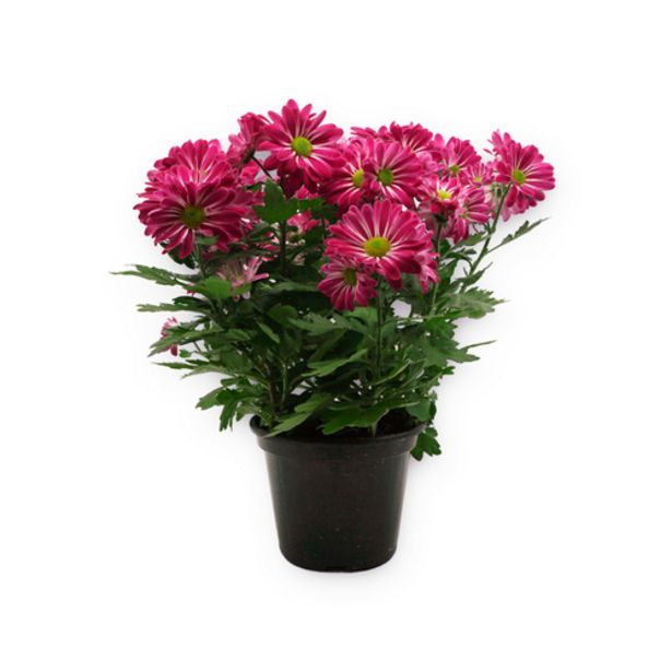 Oferta de Flor crisântemo por R$18,9