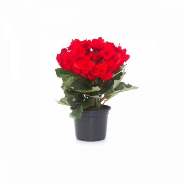 Oferta de Flor begônia holandesa por R$21,9