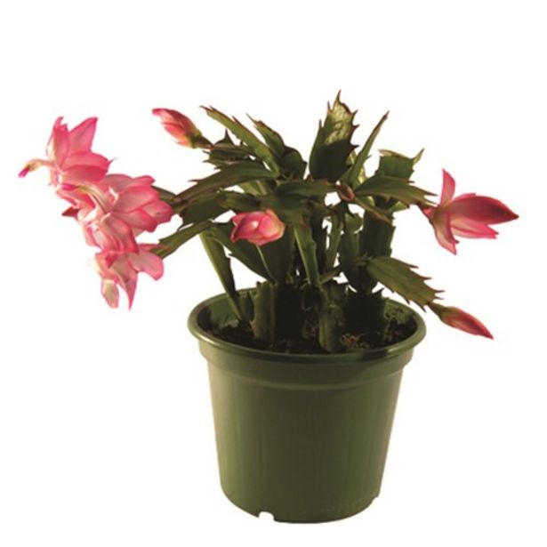 Oferta de Flor de Maio P11 Unidade por R$6,98
