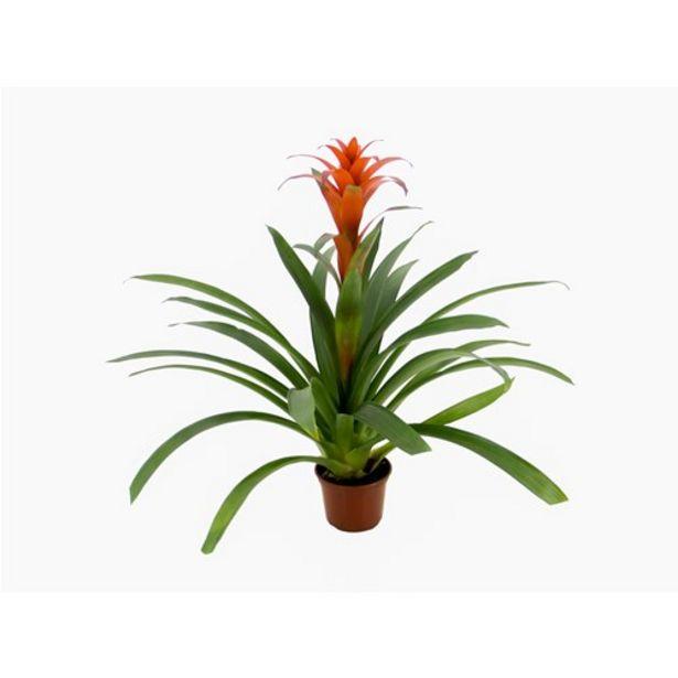 Oferta de Flor Bromélia Guzmania Variada P14 por R$10,99