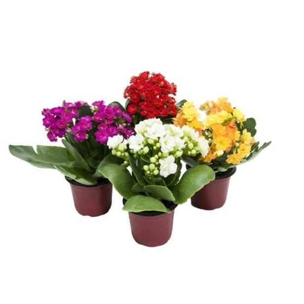 Oferta de Flor Mini Kalanchoe Dobrado P06 Unidade por R$1,99
