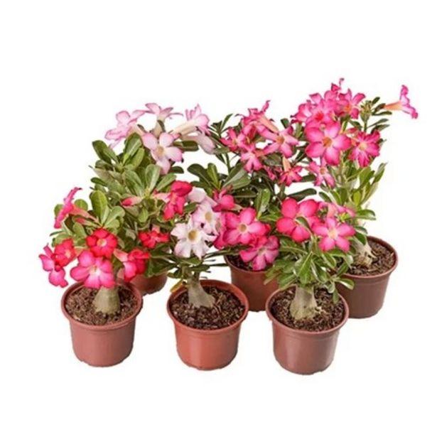 Oferta de Flor Rosa do Deserto P15 1Un por R$15,99