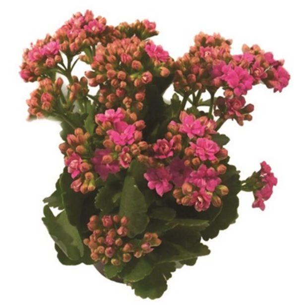 Oferta de Flor Kalanchoe Dobrado P11 por R$3,99