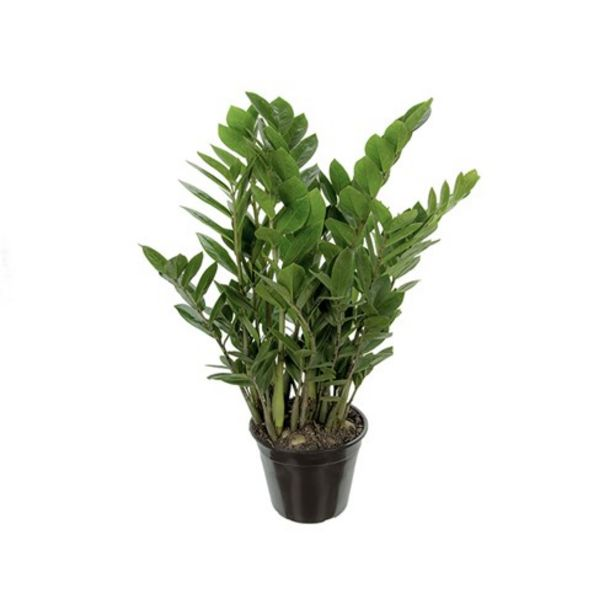 Oferta de Planta Zamioculcas P17 por R$22,9