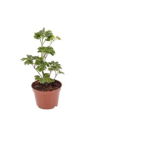 Oferta de Flor Arvore da Felicidade 284 por R$5,99