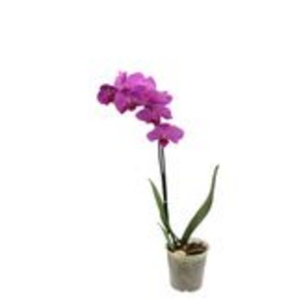 Oferta de Orquídea Multiflora Pote 12 por R$34,97