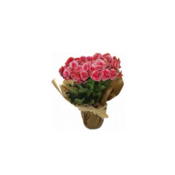 Oferta de Flor Ornamental Natutal Begonia P11 Unidade por R$23,9