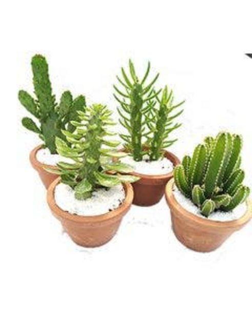 Oferta de Planta Cactus Variado Pote11 por R$10,9