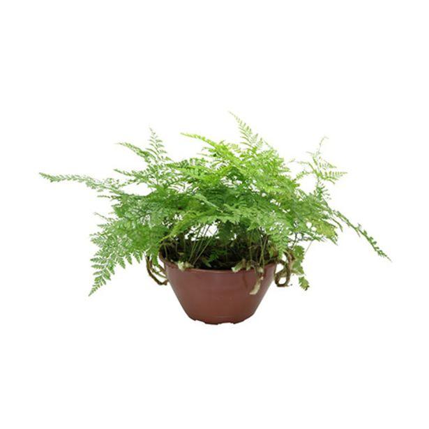 Oferta de Planta Renda Francesa C21 Und por R$32,9